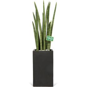 최강공기정화식물 스투키