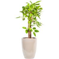 워너비 뱅갈고무나무